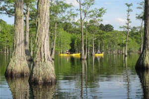 Kayaks in swampy water