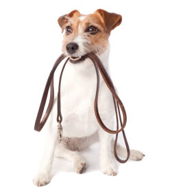 Small dog holding a leash in his mouth