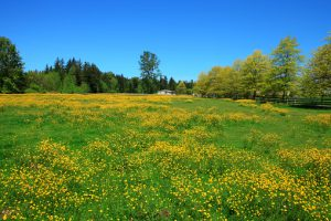 Countryside landscape with green meadow and blooming flowers.