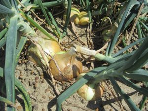 Vidalia Onion in field