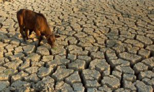 cattle-on-drought-land